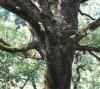 Alberi monumentali: contributo per interventi conservativi e di salvaguardia
