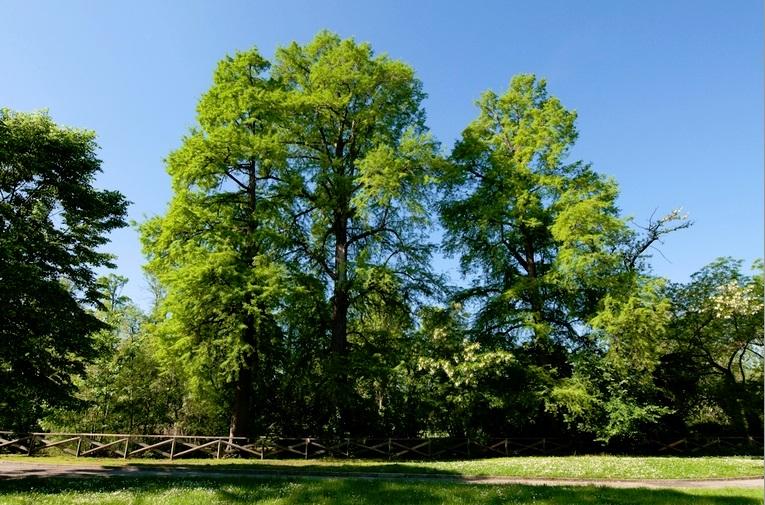Conoscere e riconoscere gli alberi della citt passeggiate guidate alla scoperta delle specie - Foto di alberi da giardino ...